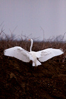 Woodbridge Greater Egret_-9504