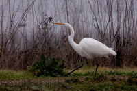 Woodbridge Greater Egret-9563